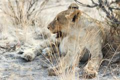Close up of a Lioness, Big Five, lion pride of cunning Giraffe, Etosha National Stock Photos
