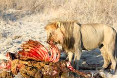 Old lion eats of dead giraffe, Big Five, lion of giraffe carcass, Etosha Stock Photos