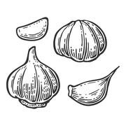 Garlic with slices isolated on white background. Vector vintage engraving - stock illustration