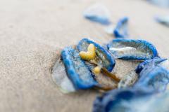 Velella velella jellyfish on the beach, Cannon Beach - stock photo