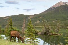 A deer at the roadside in Jasper National Park Stock Photos