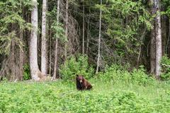A bear wanders through the wilderness in Jasper National Park - stock photo