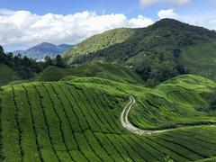 Tea plantations in Cameron Highlands - stock photo