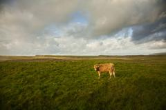 Cow in field, Giants Causeway, Bushmills, County Antrim, Northern Ireland, Stock Photos