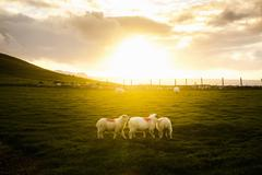 Sheep in field, Dunquin, Kerry, Ireland Stock Photos