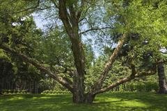 Large old pruned willow tree (salix) in backyard country garden in spring season - stock photo