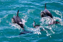 New Zealand, South Island, Kaikoura, Sunrise, Dolphin Encounter tour, dolphin - stock photo