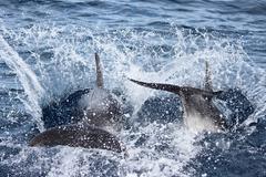 New Zealand, North Island, Paihia, Bay of Islands, dolphin tour - stock photo