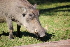 Warthog enjoys sun, Namibia, Okapuka Ranch, noon, Warthog - stock photo