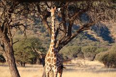 Giraffe in a beautiful landscape, Namibia, Okapuka Ranch, afternoon, sunshine, - stock photo
