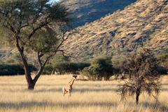Giraffe front mountains, Namibia, Okapuka Ranch, afternoon, sunshine, Game - stock photo