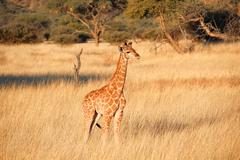 little giraffe in sunshine, Namibia, Okapuka Ranch, afternoon, sunshine, Game - stock photo