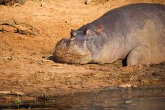Sleeping Hippo on the shore, Botswana, Chobe National Park, Safari, Game Drive, - stock photo