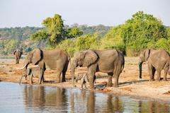 Elephants on the riverbank in the sun, Botswana, Chobe National Park, Safari, - stock photo