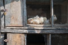 Peep, peep - Little Chicks stretch curious its beak through the lattice, Stock Photos