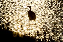 Silhouette of bird in shallows Stock Photos