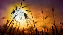 Cinematic detail of wheat ear on sunset Stock Footage