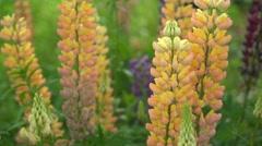 Lupin flowers (Lupinus) , hokkaido japan Stock Footage