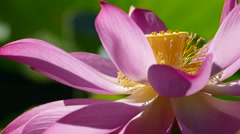 pink lotus at the moring with nice background color - stock footage