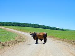 Wegabsperrung by a bull in the Drakensberg, traffic obstruction on the trip in - stock photo