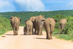 Elephant herd on the move, Addo Elephant Park, South Africa Stock Photos