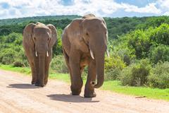 Two elephants wandering, Addo Elephant Park, South Africa - stock photo