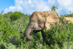 Elephant in the bushes while feeding, Addo Elephant Park, South Africa - stock photo