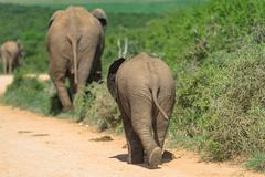 Elephant family on tour, Addo Elephant Park, South Africa Stock Photos