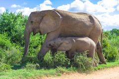 Elephant calf and his mother, Addo Elephant Park, South Africa - stock photo