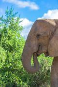 Elephant during feeding, Addo Elephant Park, South Africa Stock Photos