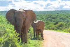 Elephants wandering, mother and calf, Addo Elephant Park, South Africa - stock photo