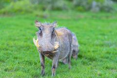 Warthog The Warthog (Phacochoerus africanus) is a native to many parts of Africa Stock Photos