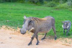 Warthog family, (Phacochoerus africanus) is a native to many parts of Africa Stock Photos