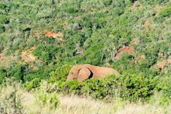 An elephant hiding in the bushes, Addo Elephant Park, South Africa Stock Photos
