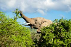Elephant eats hidden behind trees, Addo Elephant Park, South Africa Stock Photos