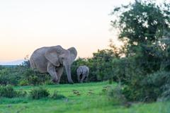 Elephant mother and her calf walk in the evening sun, elephant, mother with calf - stock photo