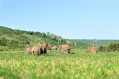 Elephant group in meadow, South Africa, Addo Elephant Park, Elephant Group - stock photo