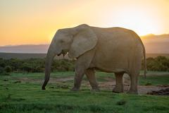 Elephant travels in Sunset, South Africa, Addo Elephant Park Stock Photos