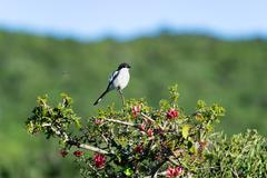 A fiscal shrike lookout, (Lanius collaris) has within the family of strangler - stock photo