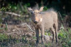 Warthog in the wild, South Africa, Addo Elephant Park, Warthog Stock Photos