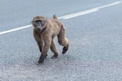Baboon on the street, Beware of Baboons near Franschhoek, South Africa Stock Photos