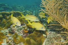 Tropical fish French grunt Haemulon flavolineatum Stock Photos