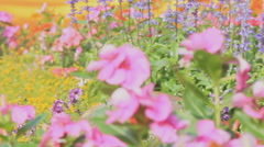 Detail of  working  sprinkler head watering  colorful flower in garden, HD vdo. Stock Footage
