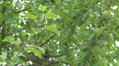 Apple tree with small green fruit Stock Footage