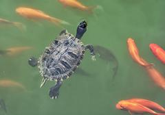 Red-eared slider - Trachemys scripta elegans and red fish in the water - stock photo