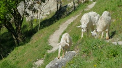 Wild Goats Grazing On Green Slope Stock Footage