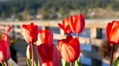 Close up tulip with people walk on the bridge at Rocky point park in Port Moo Stock Footage