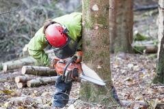 Conservationist working in a reserve to remove non-native conifer trees for - stock photo