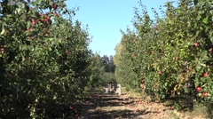 Apple tree with fruit in row in plantation at harvest time. 4K Stock Footage