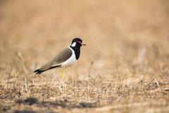 Red wattled lapwing (vanellus indicus) side view, looking away, Bagan, Myanmar - stock photo